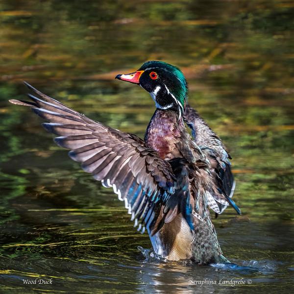 _DSC7277ood duck Winging 2.jpg
