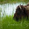 A Blade, A Brook, A Bison