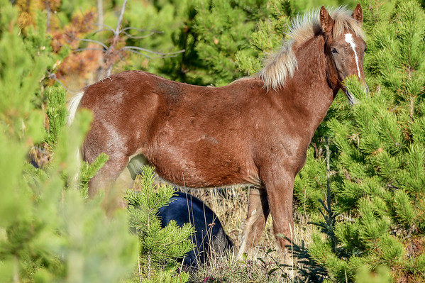 11-23-15 Alberta Wild Horse - Blond Beauty