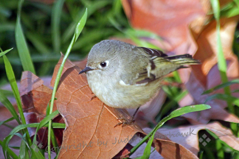 """Ruby-Crowned Kinglet ~ This little kinglet was hopping around on the ground in the San Bernardino Mountains, out of Redlands, California.  Although he flashed in """"ruby"""" crown at me a couple of times, I didn't manage to capture it with my camera.  He was very cute, nonetheless."""