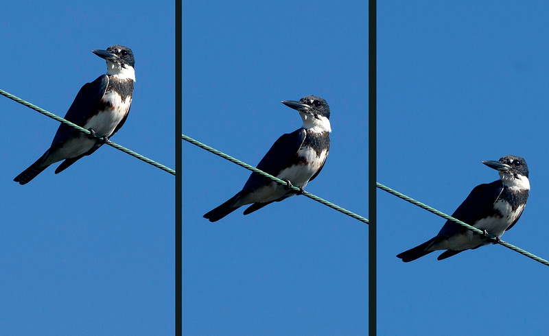Belted Kingfisher lowering his head