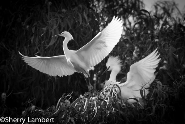 Snowy Egrets Nesting