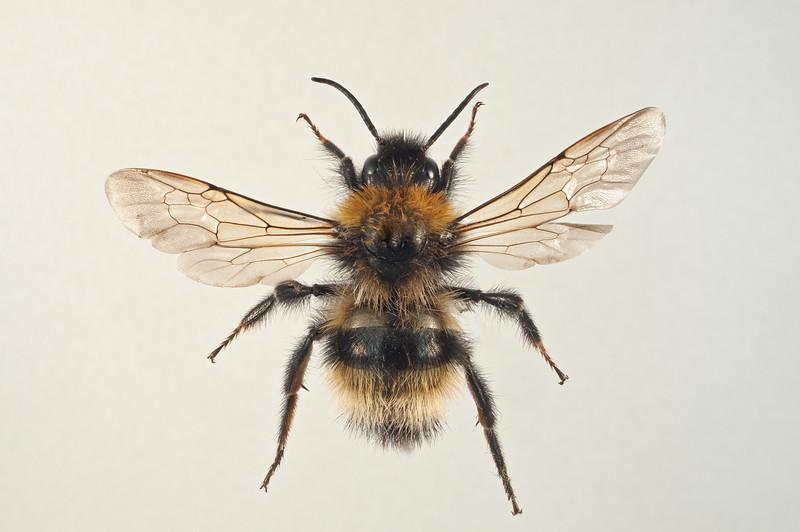 Bombus flavidus(?) -hann