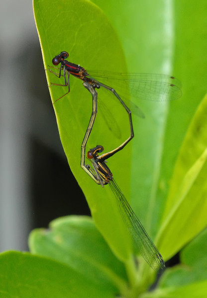 Enallagma dubium (Burgundy Bluet)
