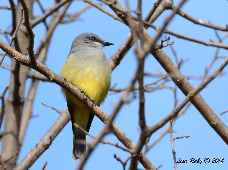 Cassin's Kingbird - 1/4/14 - Rancho Bernardo, CBC