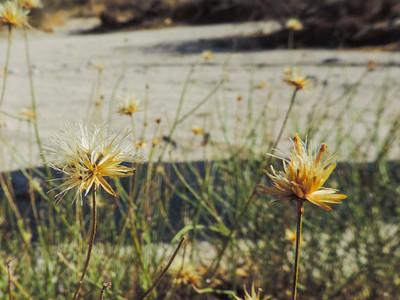 San Felipe Dogweed (Adenophyllum porophylloides)
