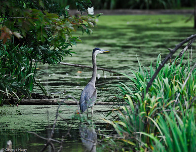 Big Birds (Herons, Storks …)