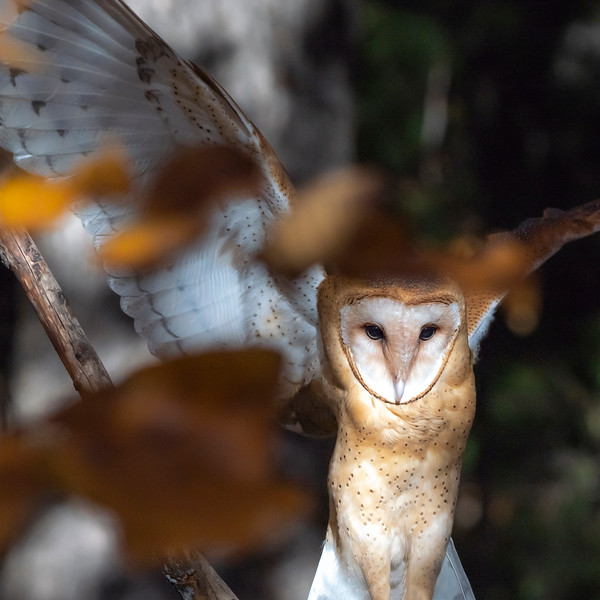 Barn Owl Rehabilitation