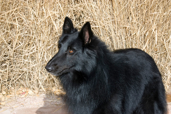 Belgian Sheepdog SO