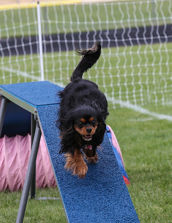 Toy Dog Agility Competition Medford, Oregon Sept 23 & 24
