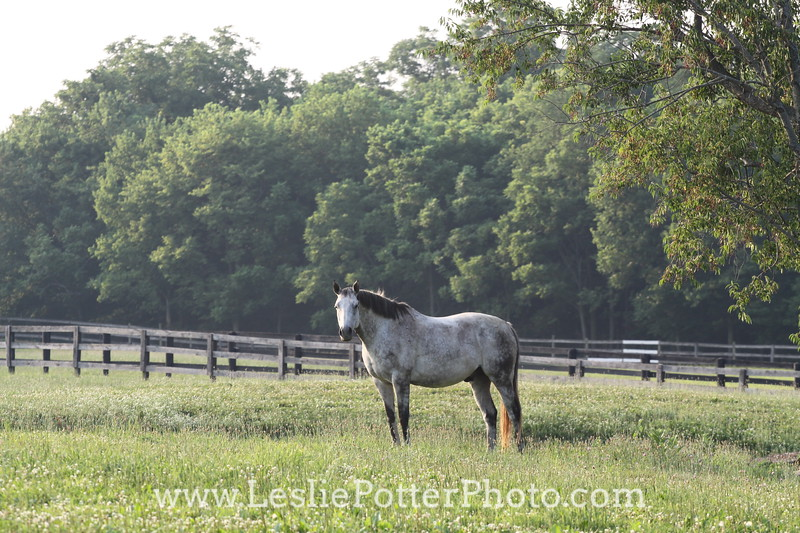Gray Horse in Pasture