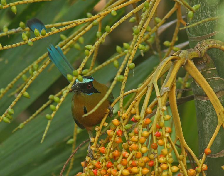 Blue-Crowned Mot Mot foraging in palmito berries, Gamboa , Panama