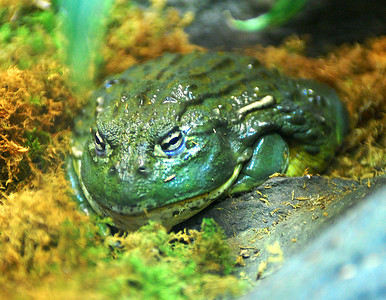 Frogs at the Fernbank (Dec., 2007)