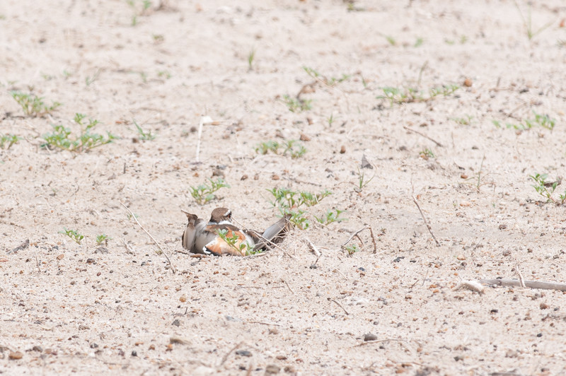 """A killdeer displays it's """"broken wing act"""" to distract predators from the nest. On the TAMU-CC University Beach."""