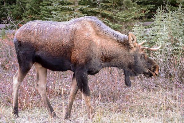 10-14-14 Bull Moose 1S & Cows