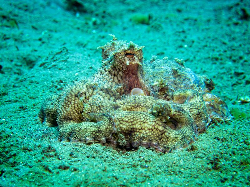 Coconut Octopus 1