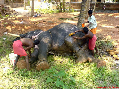 Elephant Taking Bath