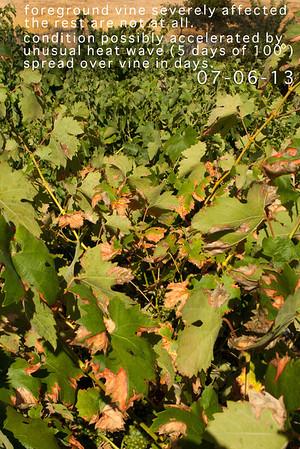 Vineyard - leaf death
