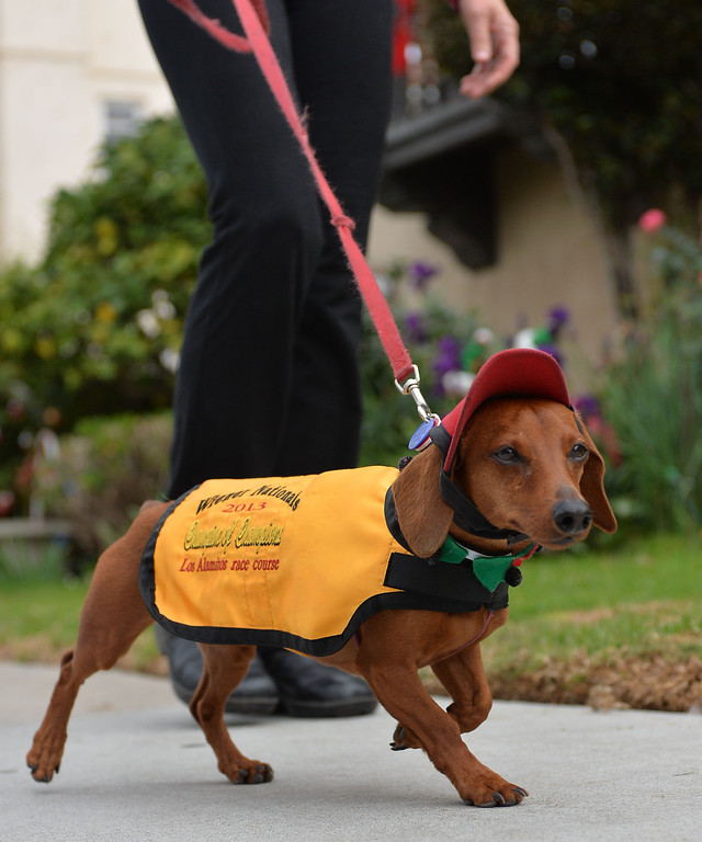 . Rescued Dachshund Bud Black, owned by David and Shawn Black will represent  the West in Weinerschnitzel  Weiner National Finals race Dec. 30th in San Diego. Bud goes for a walk in his racing gear.       Photo by: Robert Casillas / Daily Breeze