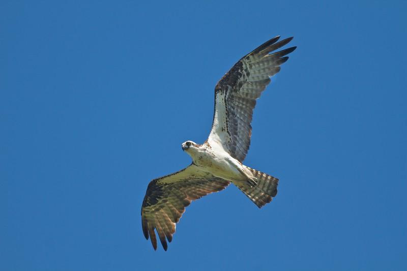 Osprey near nest CR5 S of CR4 Carlton Co MN IMG_7058.jpg