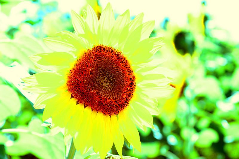 sun flower glow.JPG