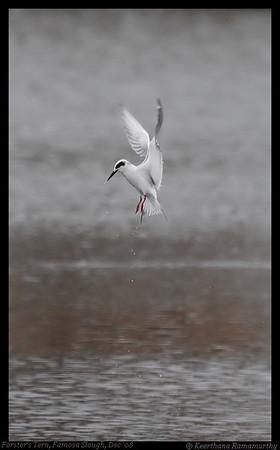 Terns, Skimmers