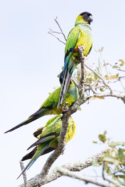 Nanday Parakeet St Pete FL 2020-2.jpg