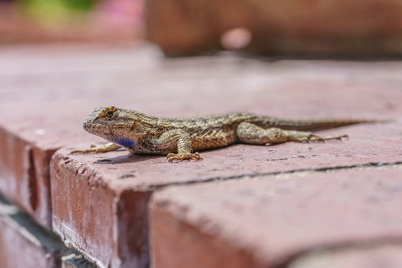 Sometimes the beauty of nature finds you on your own front porch.  This western fence lizard was waiting for me this morning when I left he house.  He posed for a few pictures before scrambling off.