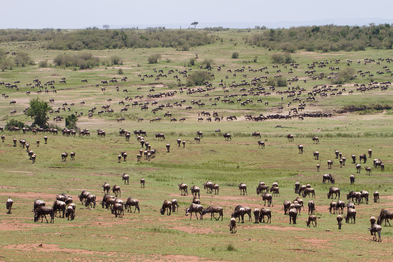 Even this photo can't possibly show how many Wildebeest are in The Mara.