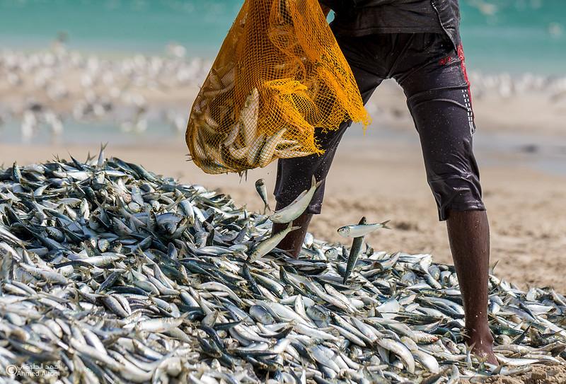 Sardine Season (37)- Dhofar.jpg