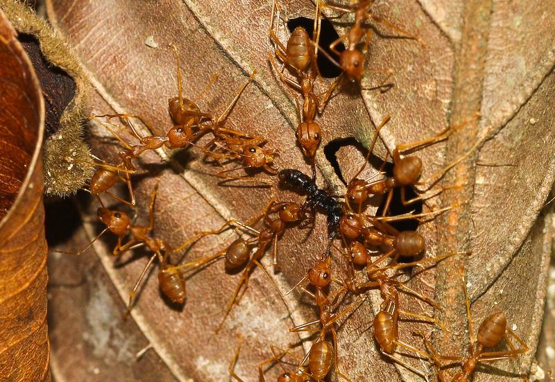 Weaver ants (genus Oecophylla) dispatch an intruder in Cambodia.
