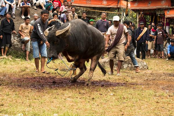 [2013.10.05 - 2013.10.07] Indonesia - Tana Toraja Funerals