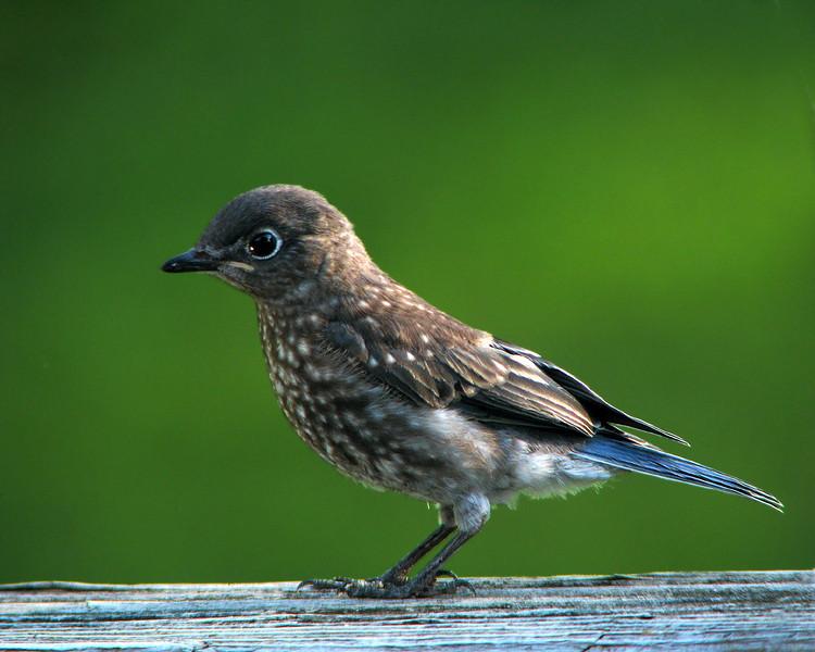 bluebird_fledgling_4534.jpg