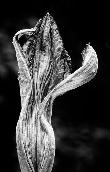 lily-bud.jpg