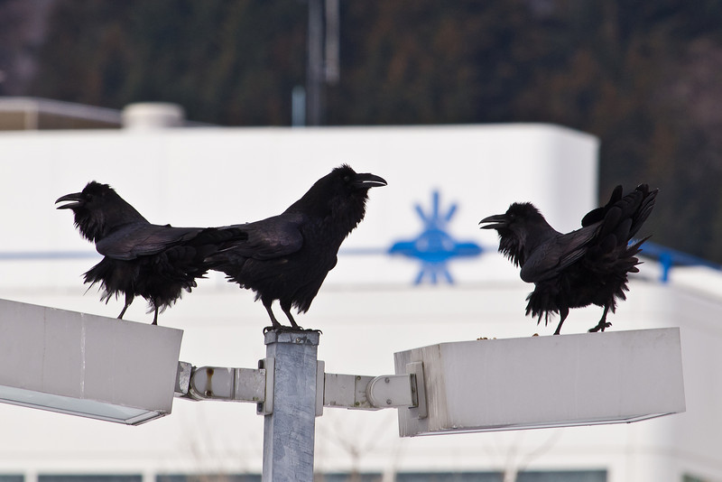 Three Ravens in front of the Sealaska building.