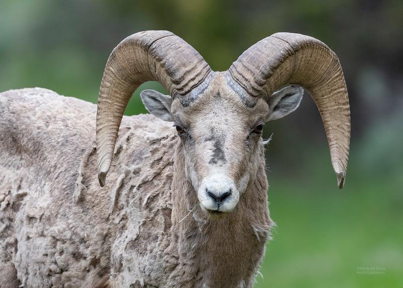 Bighorn Sheep, Yellowstone NP, WY, USA May 2018-3.jpg