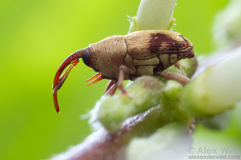 Male baridine weevils often have prosternal spines. The armaments are used to joust with competing males.  Armenia, Belize