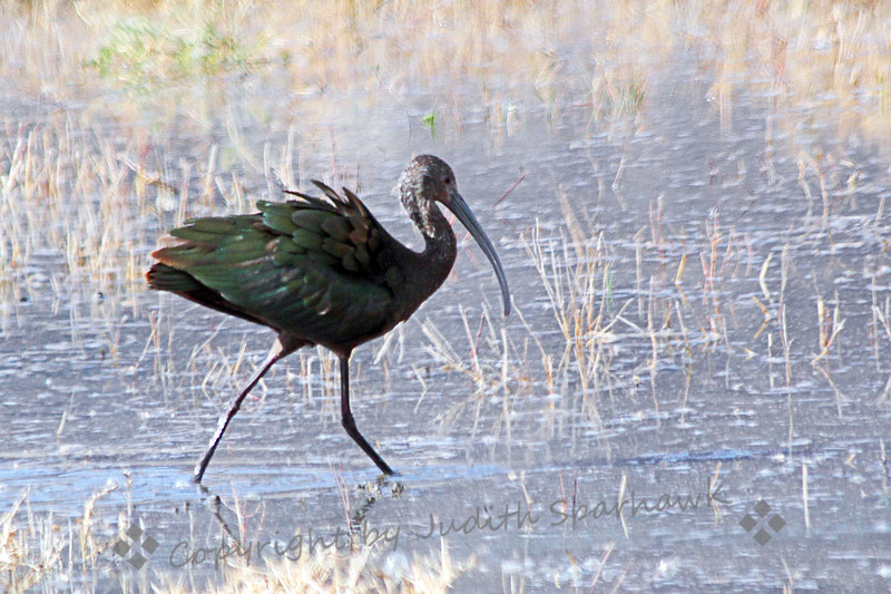 White-faced Ibis ~ This ibis was foraging in shallow water at San Jacinto Wildlife Area in Southern California.