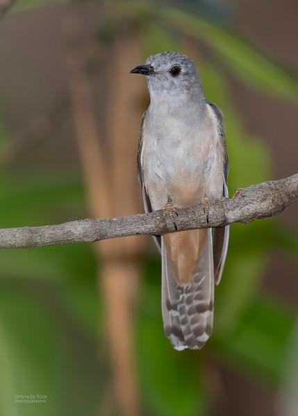 Brush Cuckoo, Townsville, QLD, Jan 2020-3.jpg
