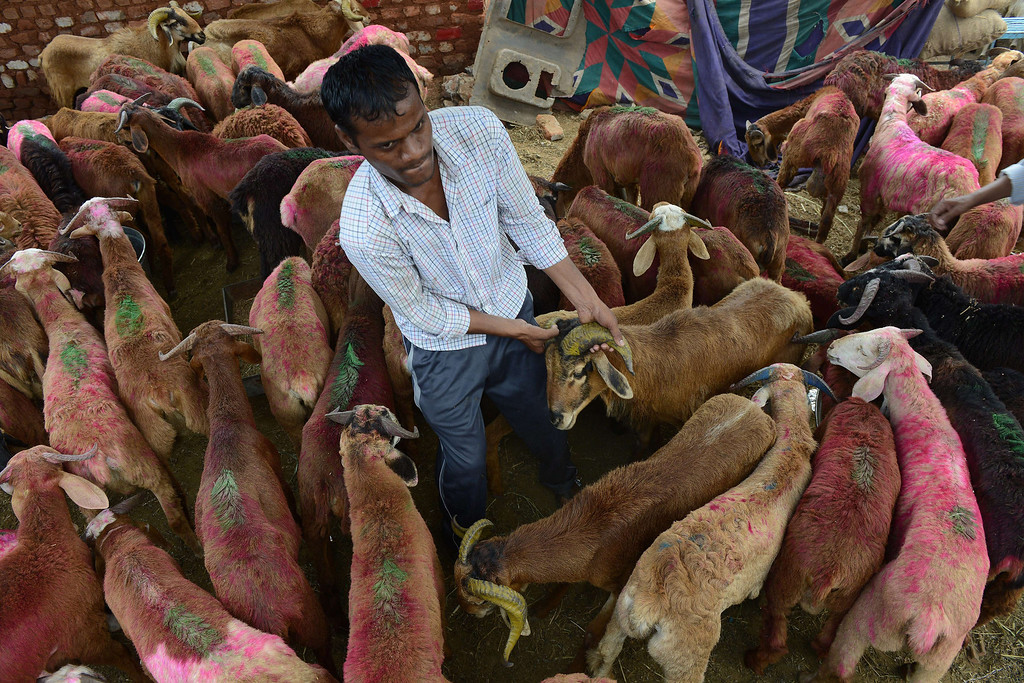 . An Indian Muslim vendor handles a goat at a livestock market in Hyderabad on October 15, 2013, ahead of the Muslim feast of Eid al-Adha.AFP PHOTO / Noah SEELAM/AFP/Getty Images