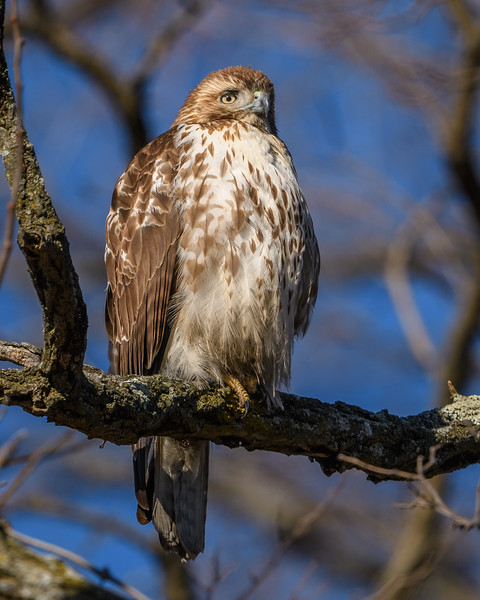 Red Tail Hawk-5988.jpg