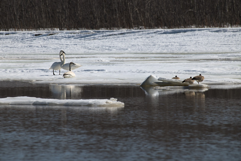 Swans on the Tanana River