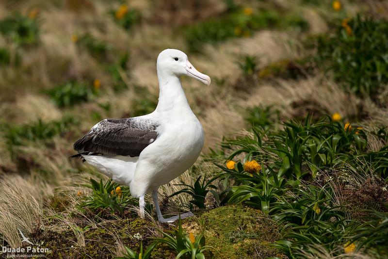974-SouthernRoyalAlbatross-CampbellIsland,NZ-12-12-13-3.jpg