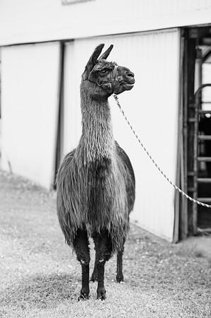 molly ~ llama photo winner