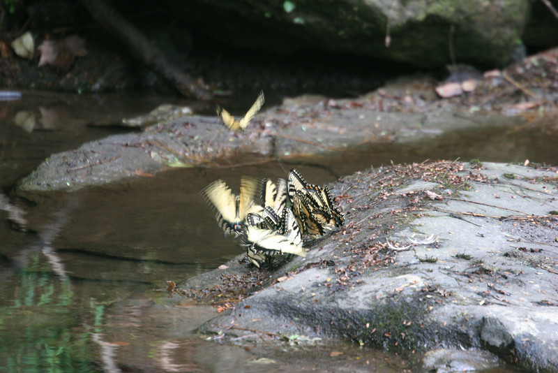 swallowtails in action