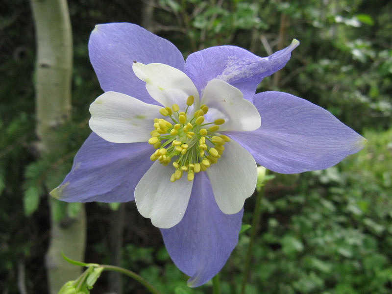 I was surprised by the many Columbines higher up, as I don't recall seeing them in past years.