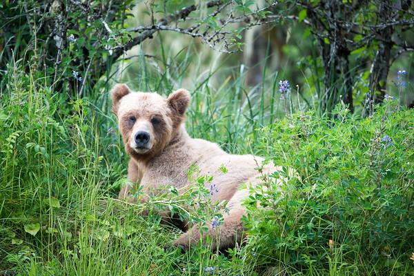 Grizzlies du Khutzeymateen