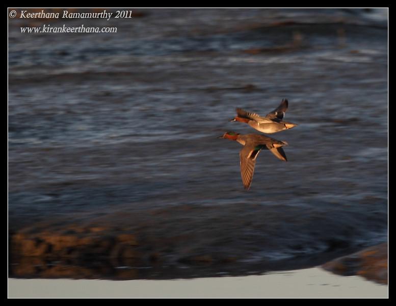 Green-winged teals, San Elijo Lagoon, Rios Ave, San Diego County, California, December 2011