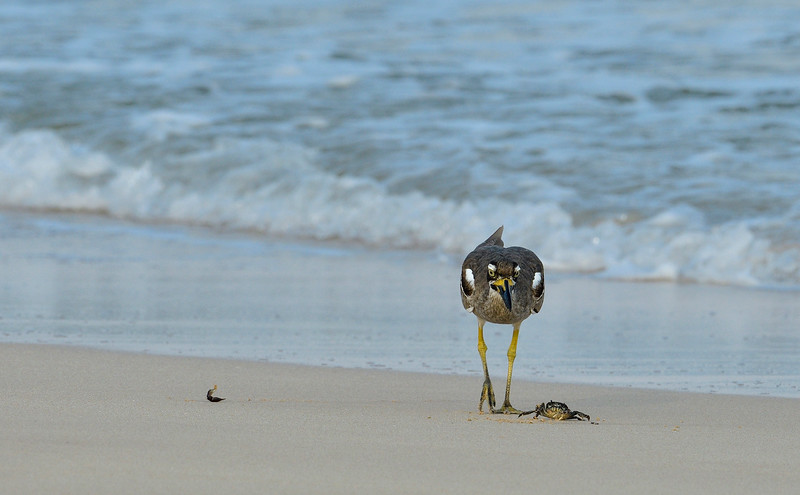 Beach-Thick-knee-with-crab-little-andaman-7.jpg