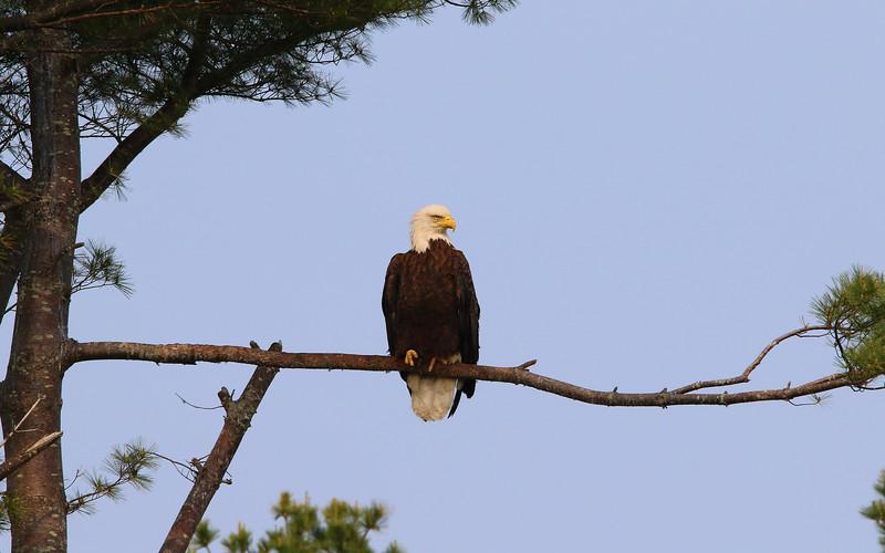 bald eagle tree.jpg